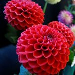 Broadwey, Upwey & District Horticultural Society Summer Show Dahlias