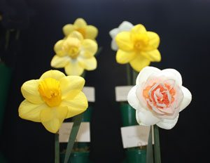 Broadwey, Upwey & District Horticultural Society Spring Show Daffodils