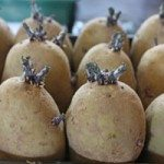 Broadwey, Upwey & District Horticultural Society Spring Show Potatoes